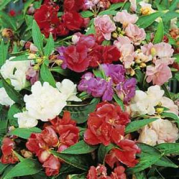 Vlijtig Liesje Camellia Dubbelbloemig gemengd