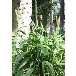 Palm gras