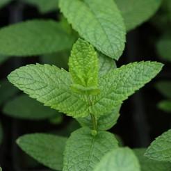 Munt 'Pepermunt' plant