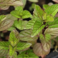 Munt 'Gember' plant