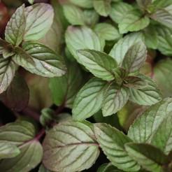 Munt 'Chocolade' plant