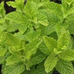 Munt 'Marokkaanse (Mojito)' plant