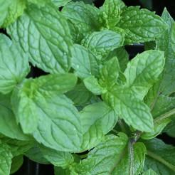 Munt 'Japanse' plant