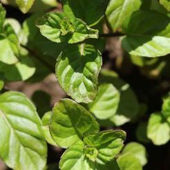 Munt 'Sinaasappel' plant
