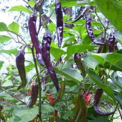 Cayenne Purple