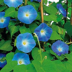 Klimmende Winde Heavenly Blue