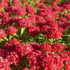 Scarlet Beauty