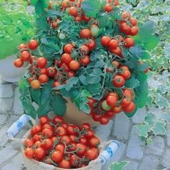 Gartenperle