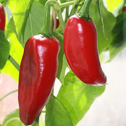 Capsicum annuum 20 Samen Tomatenpaprika pimiento tomate